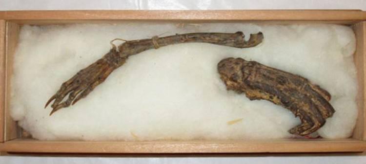 Останки каппы - японского водяного. Рука - правее, выглядит больше ноги. /kp.ru/daily/