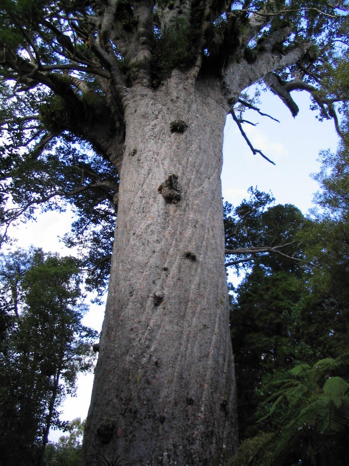 Новозеландское каури или Агатис южный /ru.wikipedia.org/
