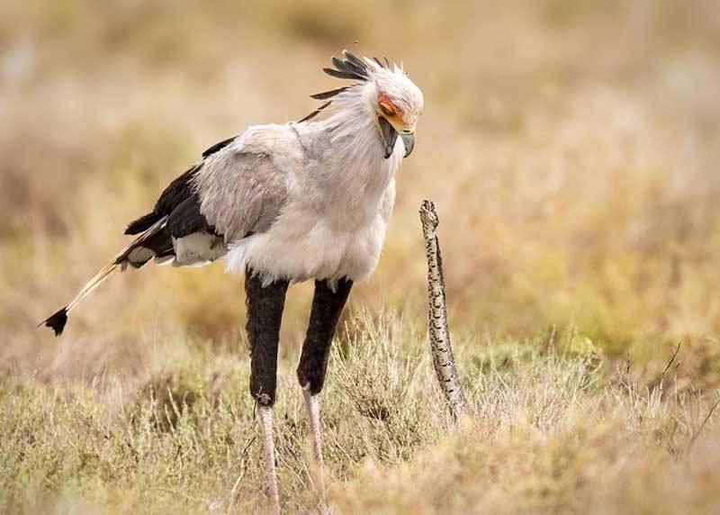 Гаруда птица секретарь